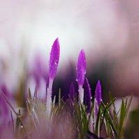 ..первые цветы... :: Лилия .