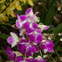 Орхидеи :: GALINA