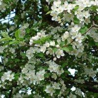 """""""Яблони в цвету, весны творенье...!"""" :: Galina Dzubina"""
