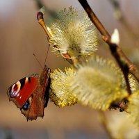 павлиний глаз на апрельской пыльце 4 :: Александр Прокудин