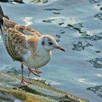 Озерная чайка :: Елена Винник