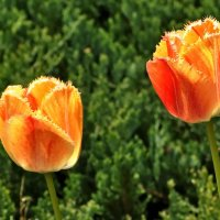 Тюльпаны: прекрасная солнечная красота! :: Vit