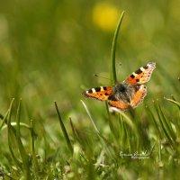 Бабочка :: Roman Arnold