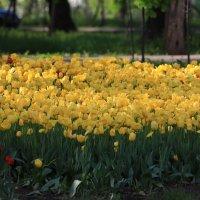 жёлтые тюльпаны :: Alima Назарова