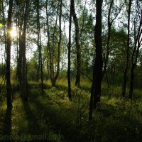 Лес в лучах вечернего солнца :: Elena Gosteva