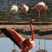 танцующий фламинго :: Дмитрий Солоненко