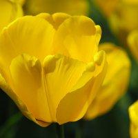 "Tюльпан ""Golden Apeldoоrn"" :: Swetlana V"