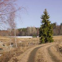 Одинокая ель у дороги :: Евгений Астахов