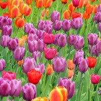 Весна. Тюльпаны. :: ТаБу