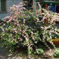 И майская роза в цвету! :: Нина Корешкова
