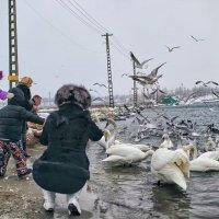 Февральский день у зимовки лебедей. :: Вахтанг Хантадзе