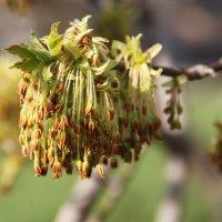 Ясень цветёт :: Natali Positive