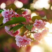 Сакура,Японская вишня :: Сергей Форос