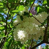 Ах, эта белая Сирень...! :: Galina Dzubina