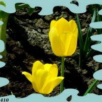 Солнечные тюльпаны :: Нина Бутко