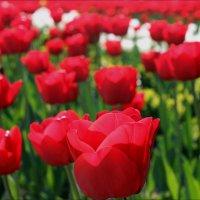Тюльпаны в городском саду :: Татьяна Пальчикова