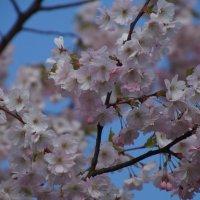 Цветение сакуры. Рига. :: Larisa Freimane