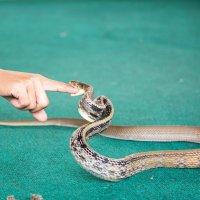 Шоу змей,Тайланд :: Ольга Горд