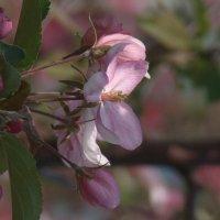 Яблонька не для яблок, а для красоты :: Syntaxist (Светлана)