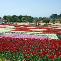 Фестиваль тюльпанов в Тхаэне (Южная Корея) :: Irina Shtukmaster