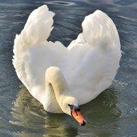 Лебединый реверанс :: Natali Positive