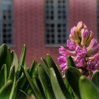 Весна в Кусково. Гиацинты у Голландского домика. :: Надежда Лаптева
