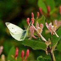 Первая бабочка на жимолости :: Светлана