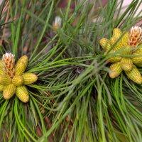 Сосновые цветы :: Геннадий