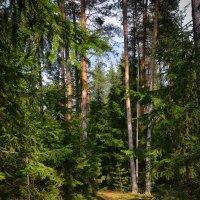 Весна в лесу :: Алексей (GraAl)