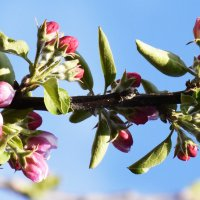 Яблоня цветет... :: Oghuz alili