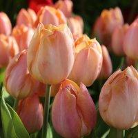 Тюльпановый салют весне! :: Лариса Исаева