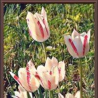 Тюльпаны :: Владимир Бровко