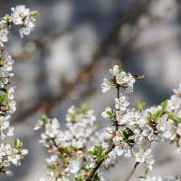 Шмель и цветы вишни :: Александр Синдерёв