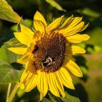 Sunflowers :: Sergio Za