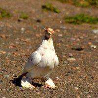 декоративный голубь :: linnud