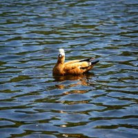 Красная утка. :: Александр Романов
