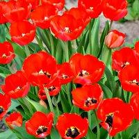 Тюльпаны. :: Михаил Столяров