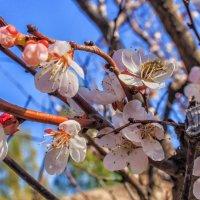 Белый цветок весны.. :: Юрий Стародубцев
