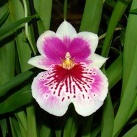 Орхидея Мильтония :: Татьяна Георгиевна