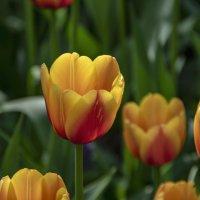 Тюльпаны :: Яков Реймер