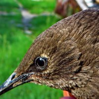 Самка черного дрозда. :: vodonos241