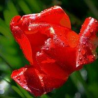 Тюльпан с боке :: Асылбек Айманов