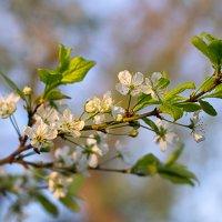 Слива цветёт. :: Елена Струкова