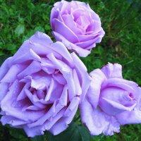 Роза Голубой Нил :: sm-lydmila
