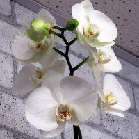 Орхидея :: Лариса