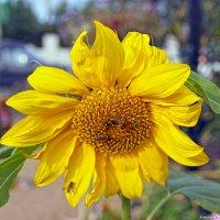 Подсолнухи пахнут солнечной свежестью :: Андрей Иванович (Aivanovich-2009)