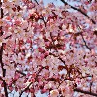 Цветение сакуры :: Aida10