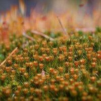 Цветущий мох :: Алексей (GraAl)