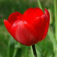 Одинокий тюльпан :: Милешкин Владимир Алексеевич