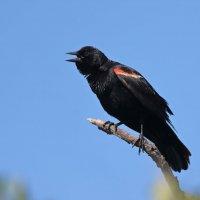 красно крылые черные дрозды :: Naum